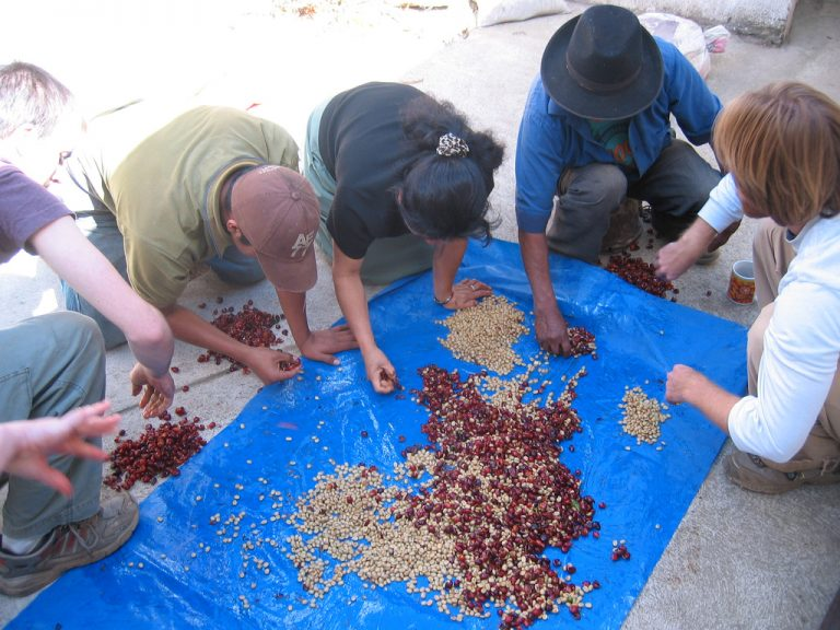 Coffee_beans_being_sorted_and_pulped